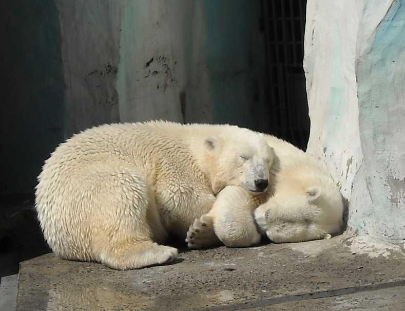 Белый медведь - Ursus maritimus  (фото 522)