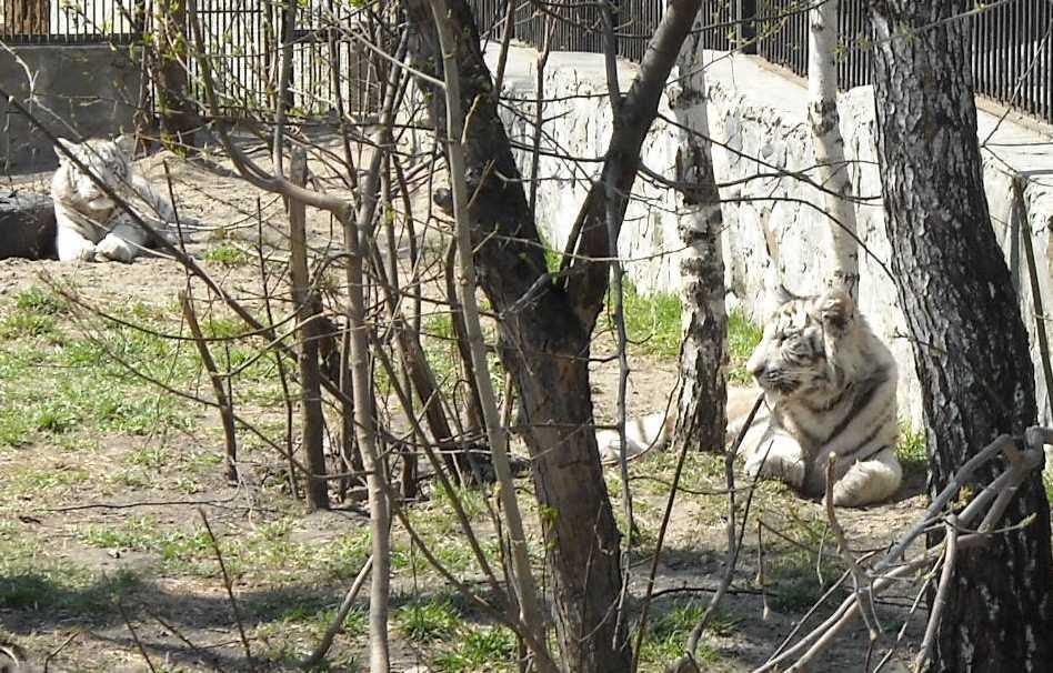Бенгальский тигр белая вариация - Panthera tigris tigris var.alba  (фото 523)
