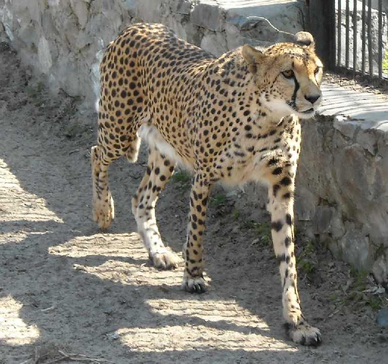 Гепард - Acinonyx jubatus  (фото 526)