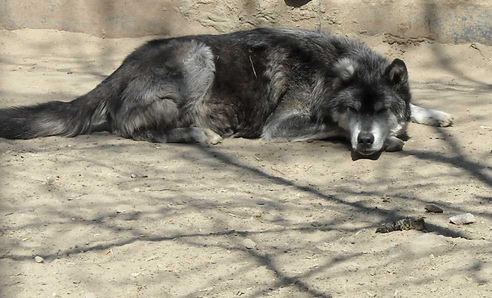 Черный волк - Canis lupus pambasileus  (фото 528)