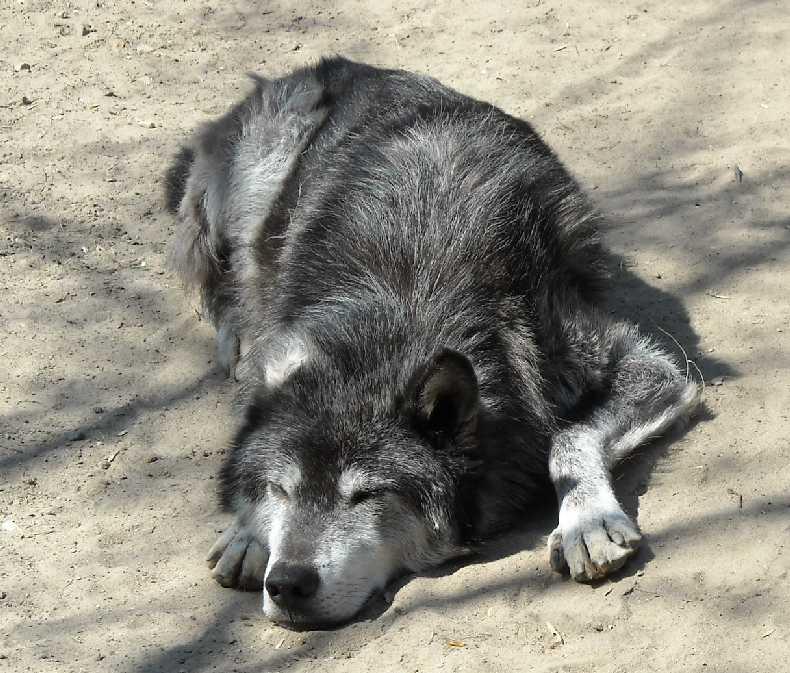 Черный волк - Canis lupus pambasileus  (фото 530)