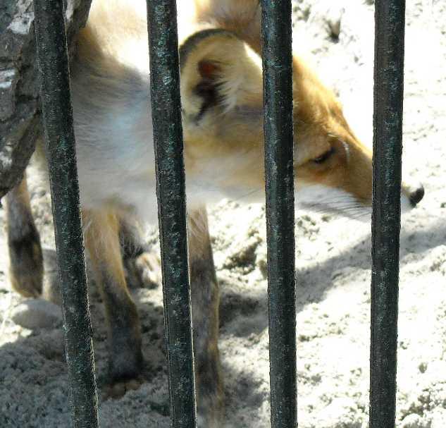 Обыкновенная лисица - Vulpes vulpes vulpes  (фото 540)