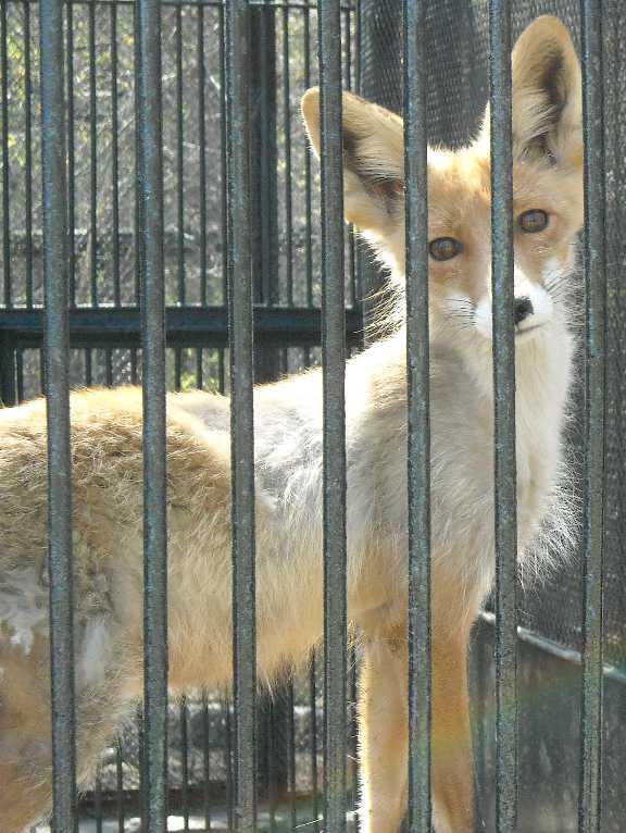 Обыкновенная лисица - Vulpes vulpes vulpes  (фото 543)