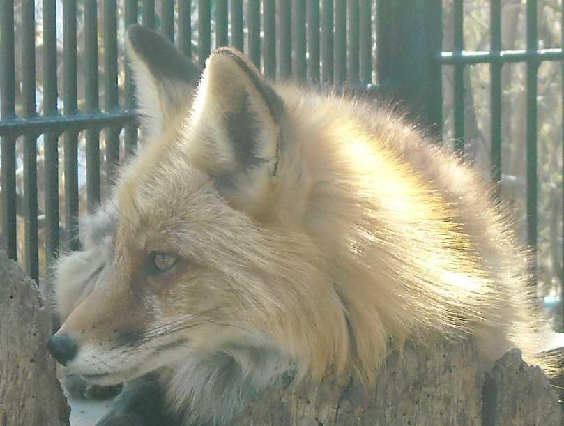 Обыкновенная лисица - Vulpes vulpes vulpes  (фото 546)