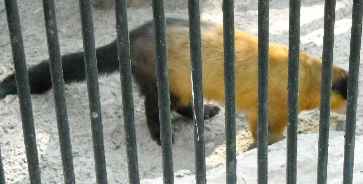 Уссурийская харза - Martes flavigula aterrima  (фото 548)