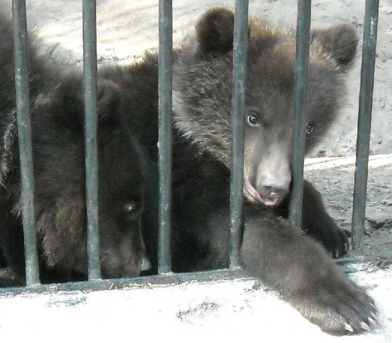 Бурый медведь - Ursus arctos  (фото 549)