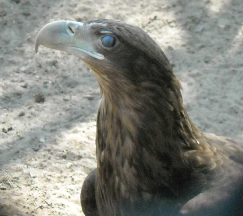Орлан-белохвост - Haliaeetus albicilla  (фото 564)