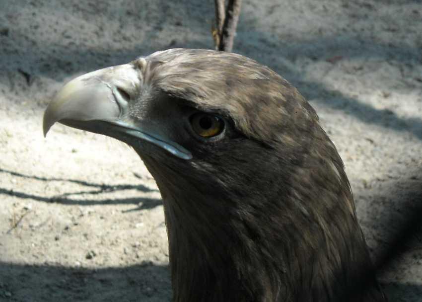 Орлан-белохвост - Haliaeetus albicilla  (фото 565)