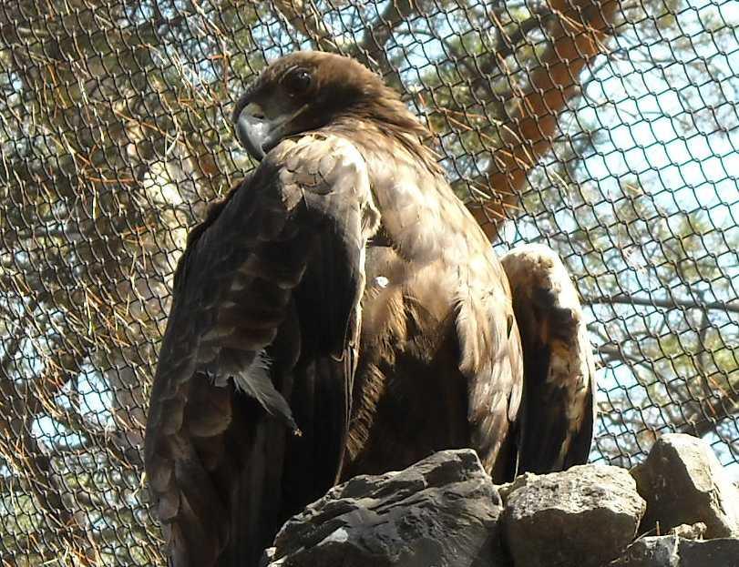 Беркут - Aquila chrysaetos  (фото 566)