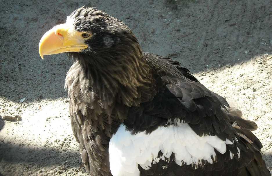 Орлан белоплечий - Haliaeetus pelagicus  (фото 569)