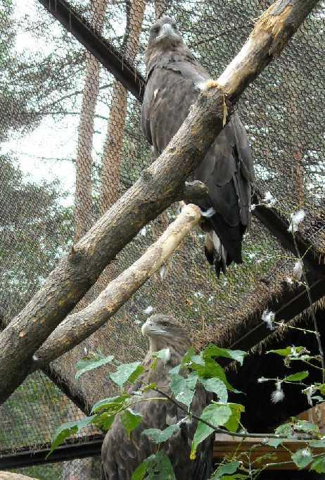 Черный гриф - Aegypius monachus  (фото 584)