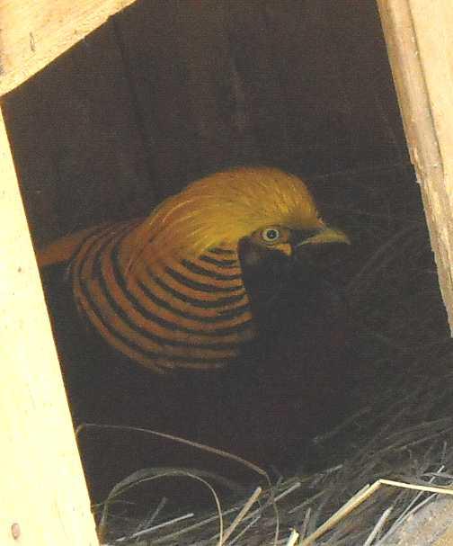 Золотой фазан - Chrysolophus pictus  (фото 637)