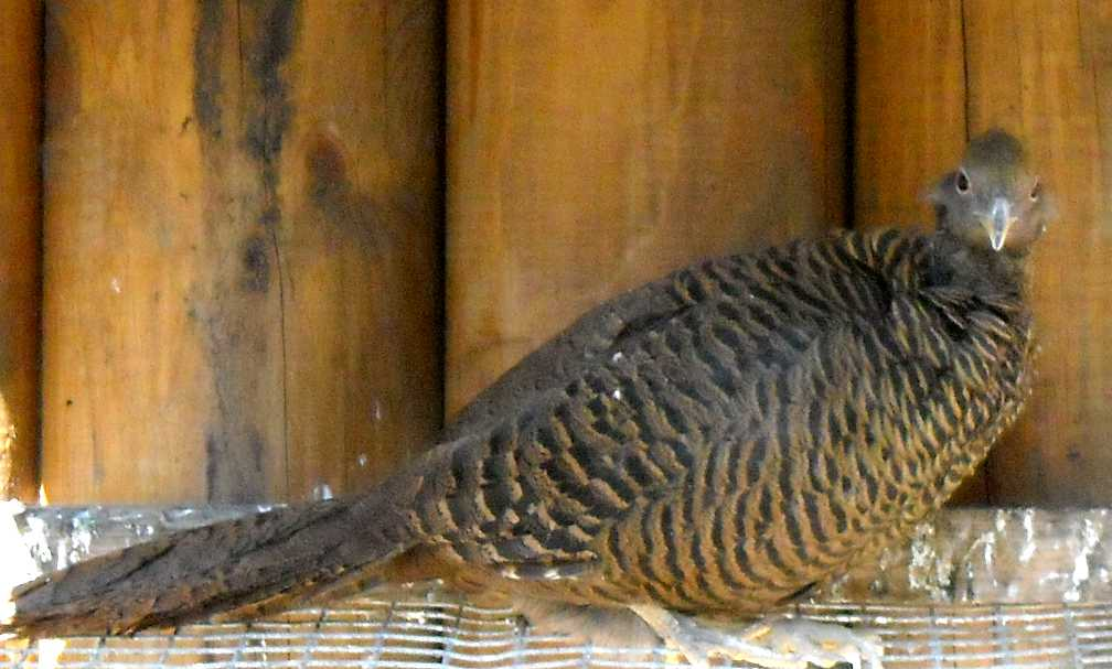 Золотой фазан - Chrysolophus pictus  (фото 638)