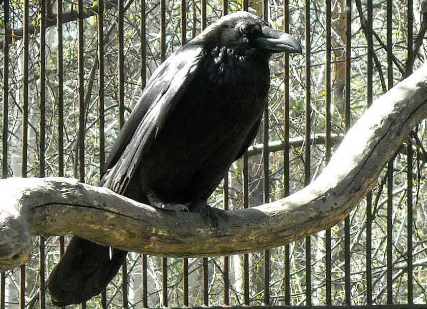Ворон - Corvus corax  (фото 661)