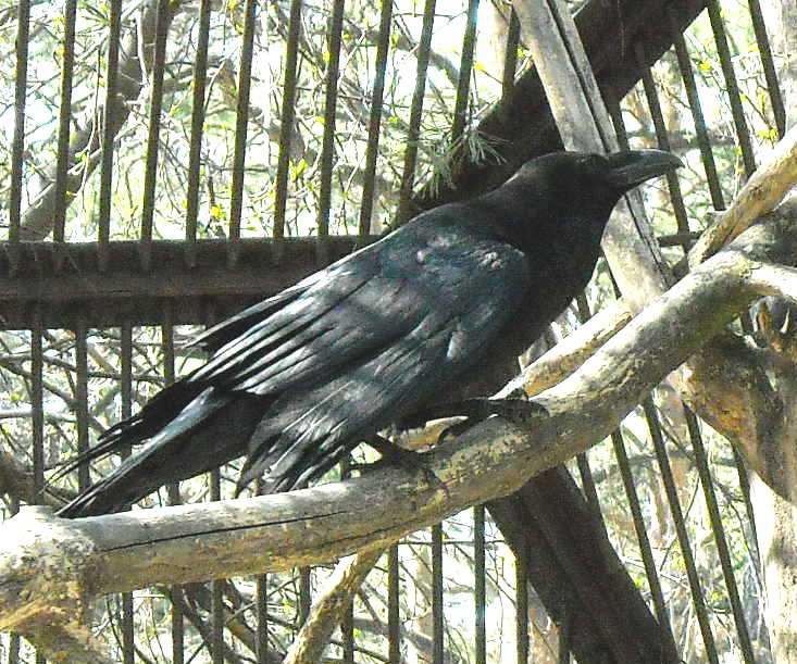 Ворон - Corvus corax  (фото 662)