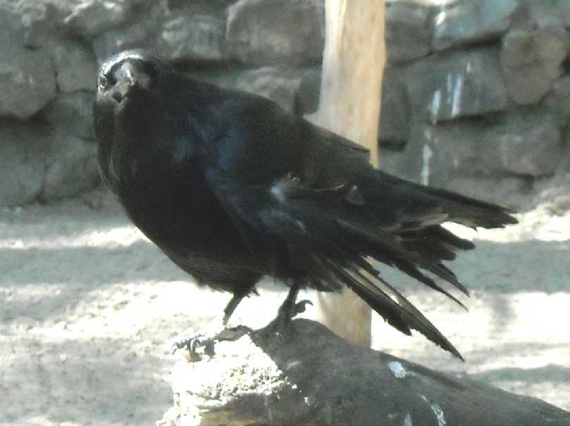 Ворон - Corvus corax  (фото 663)
