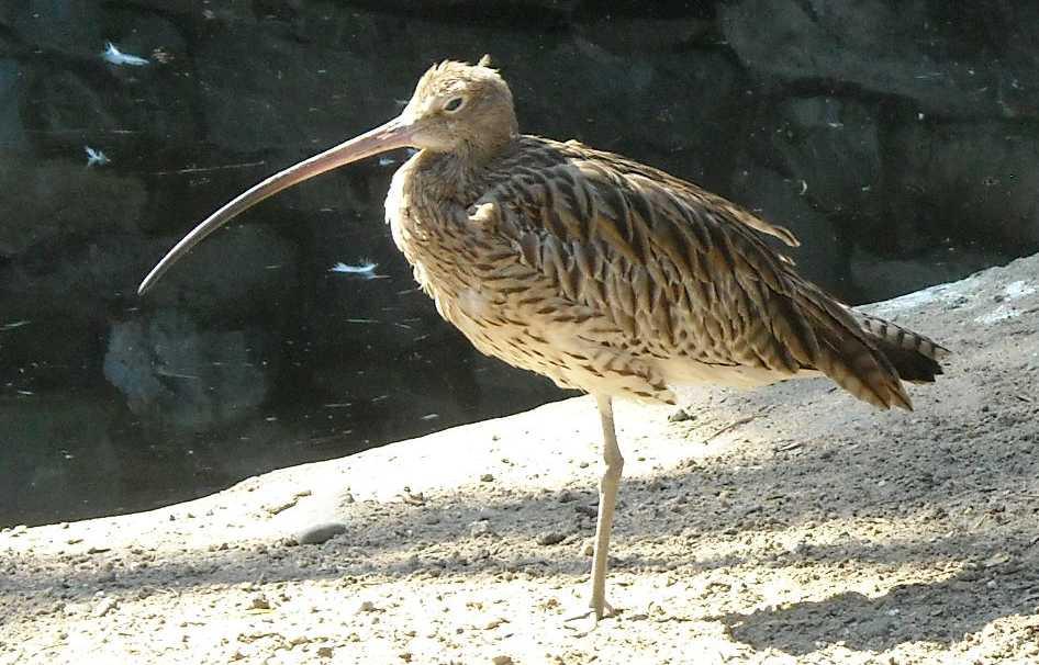 Каравайка - Plegadis falcinellus  (фото 686)