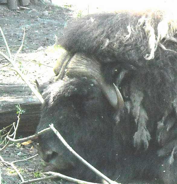 Овцебык - Ovibos moschatus  (фото 755)