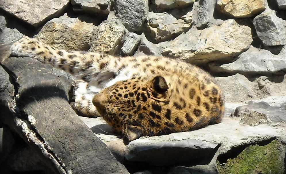 Дальневосточный леопард - Panthera pardus orientalis  (фото 757)