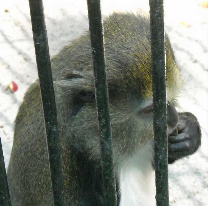 Мартышка мона - Cercopithecus mona  (фото 762)