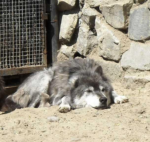 Черный волк - Canis lupus pambasileus  (фото 782)