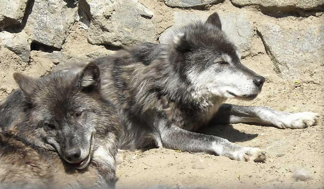 Черный волк - Canis lupus pambasileus  (фото 783)
