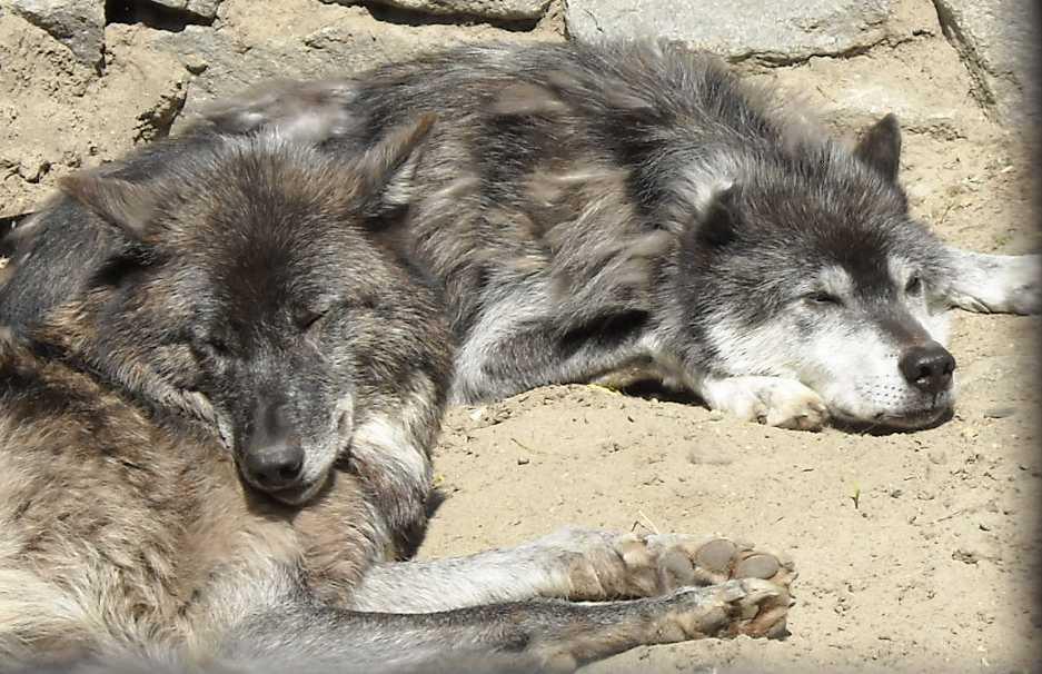 Черный волк - Canis lupus pambasileus  (фото 784)