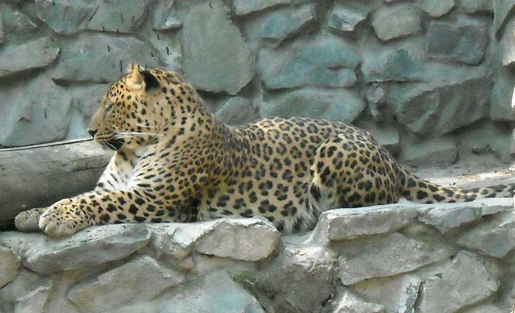Кавказский леопард - Panthera pardus ciscaucasica  (фото 802)