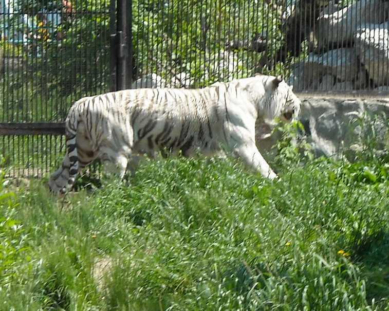 Бенгальский тигр белая вариация - Panthera tigris tigris var.alba  (фото 804)