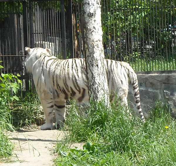 Бенгальский тигр белая вариация - Panthera tigris tigris var.alba  (фото 805)