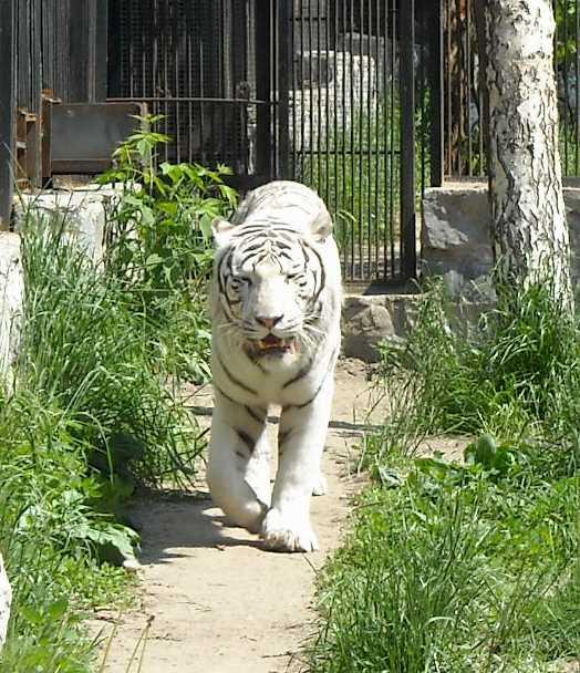 Бенгальский тигр белая вариация - Panthera tigris tigris var.alba  (фото 806)