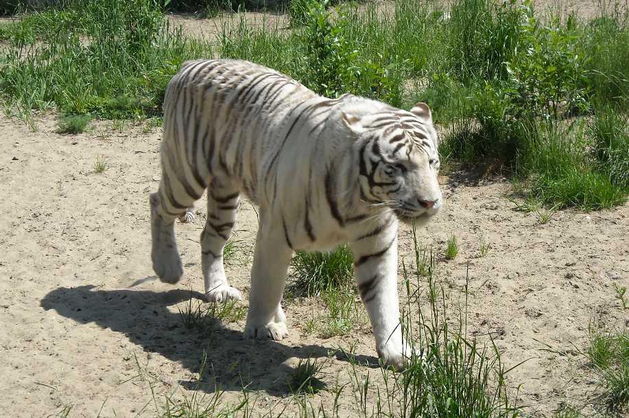 Бенгальский тигр белая вариация - Panthera tigris tigris var.alba  (фото 808)