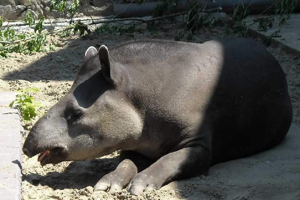 Равнинный тапир - Tapirus terrestris  (фото 812)