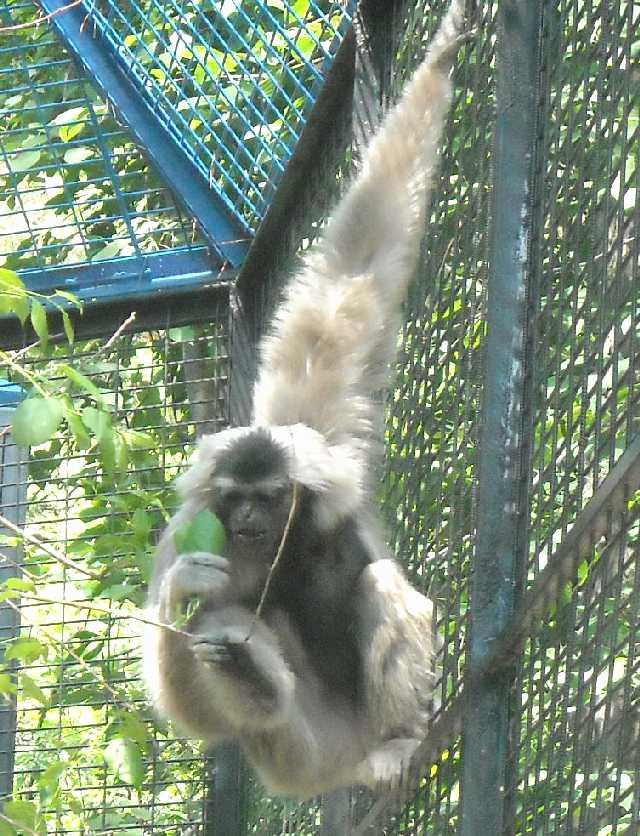 Камбоджийский гиббон - Hylobates pileatus  (фото 819)