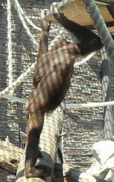 Борнейский орангутан - Pongo pygmaeus  (фото 826)