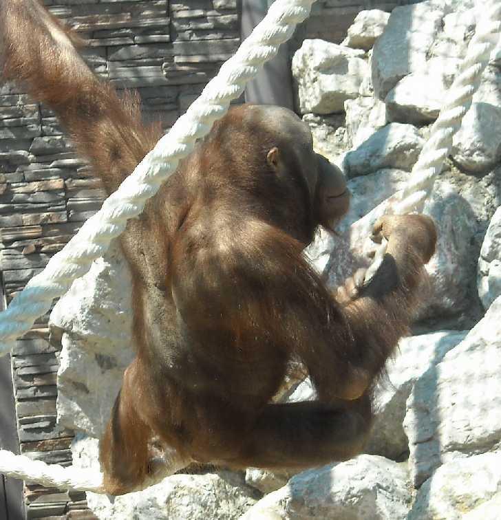 Борнейский орангутан - Pongo pygmaeus  (фото 827)