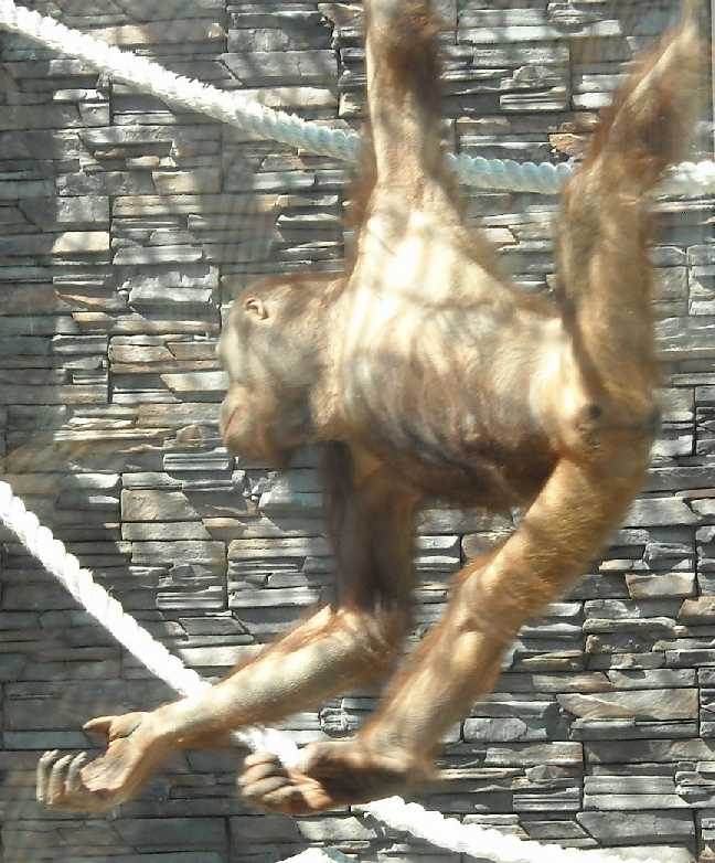 Борнейский орангутан - Pongo pygmaeus  (фото 829)