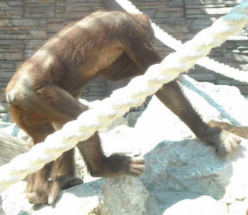 Борнейский орангутан - Pongo pygmaeus  (фото 830)