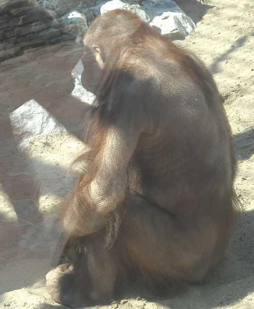 Борнейский орангутан - Pongo pygmaeus  (фото 832)