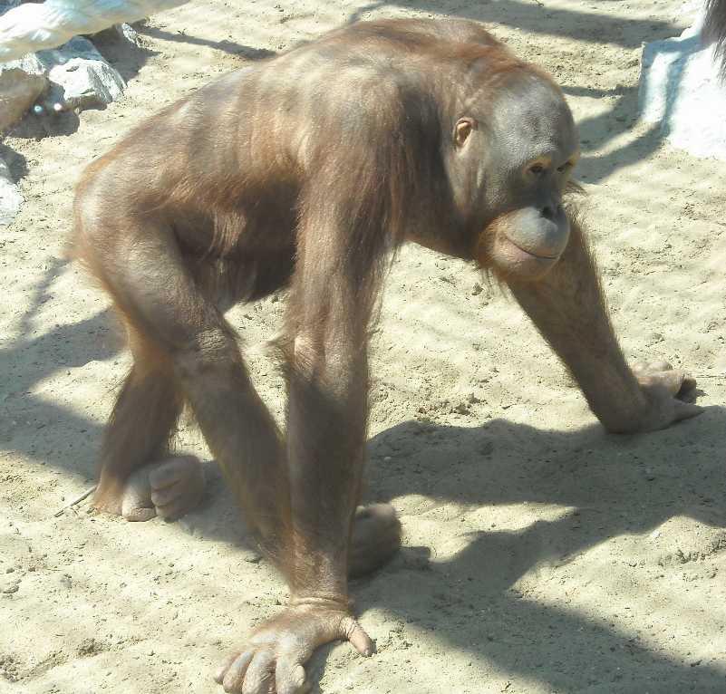 Борнейский орангутан - Pongo pygmaeus  (фото 833)