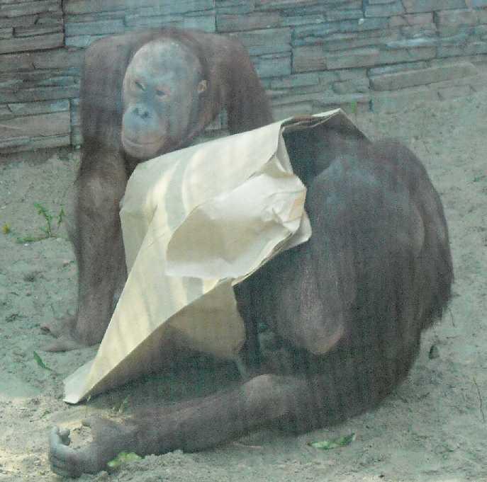 Борнейский орангутан - Pongo pygmaeus  (фото 835)