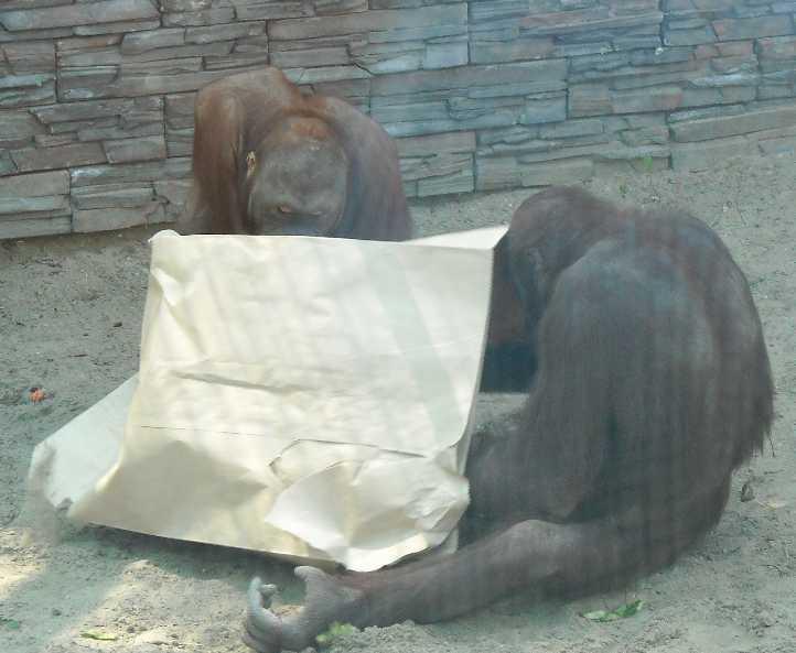 Борнейский орангутан - Pongo pygmaeus  (фото 836)