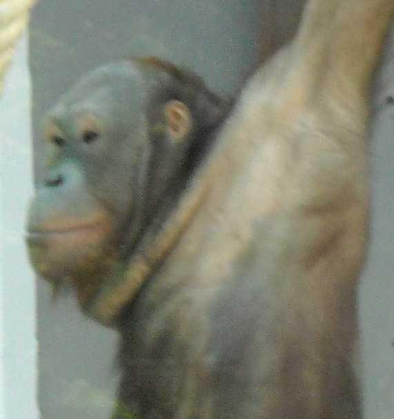 Борнейский орангутан - Pongo pygmaeus  (фото 837)