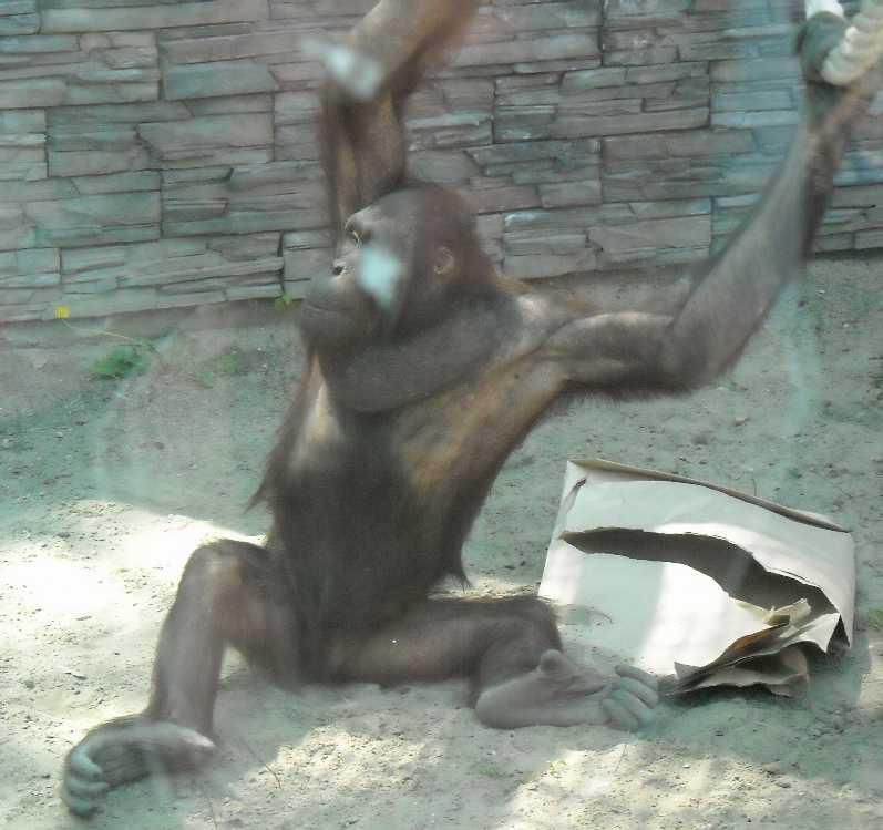 Борнейский орангутан - Pongo pygmaeus  (фото 838)