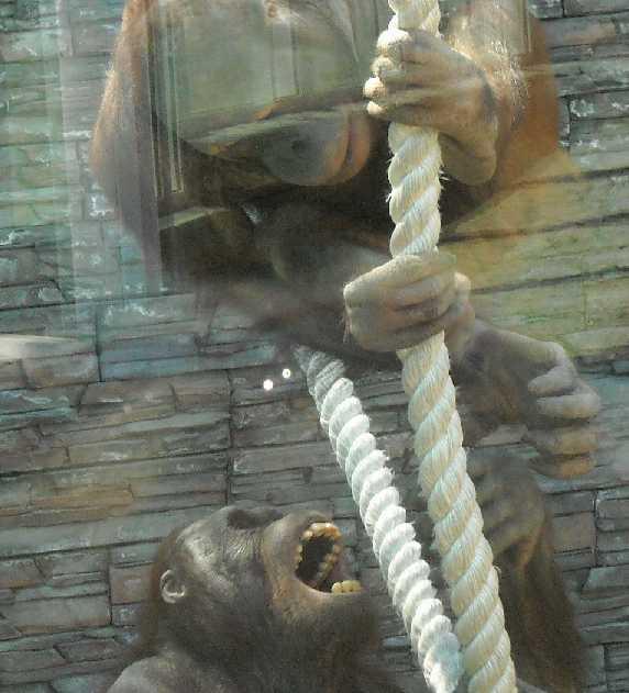 Борнейский орангутан - Pongo pygmaeus  (фото 839)