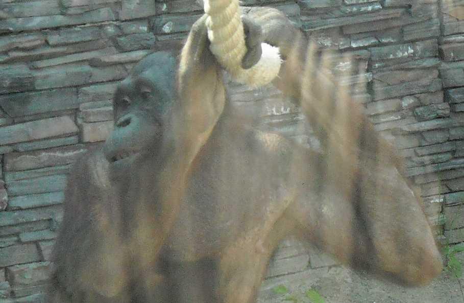 Борнейский орангутан - Pongo pygmaeus  (фото 840)