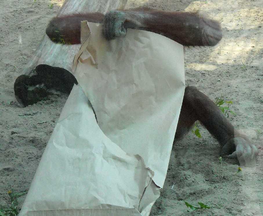 Борнейский орангутан - Pongo pygmaeus  (фото 842)