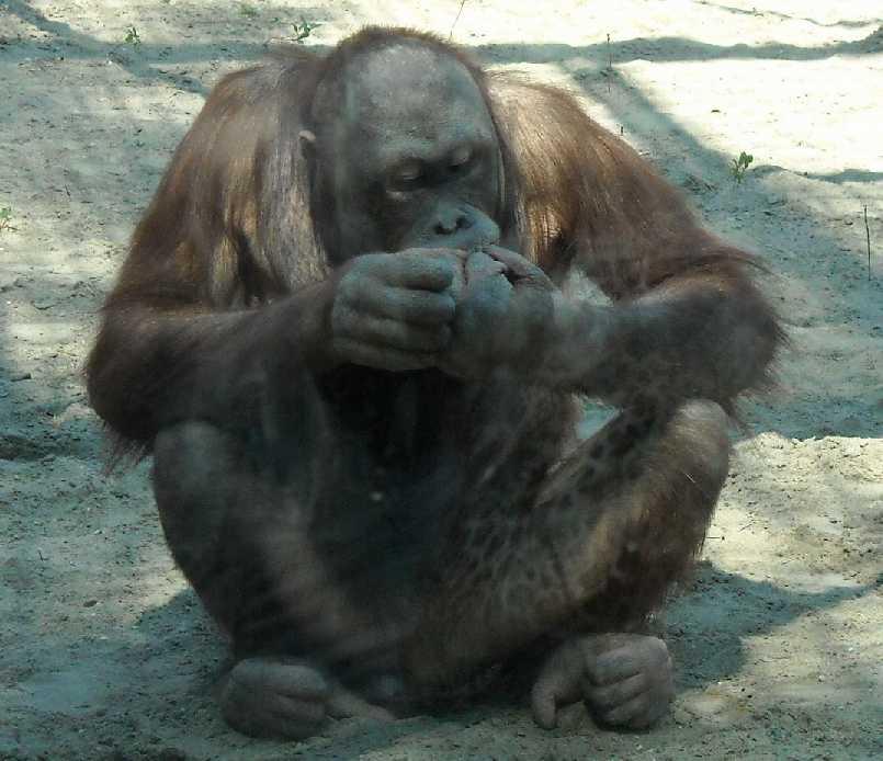 Борнейский орангутан - Pongo pygmaeus  (фото 843)