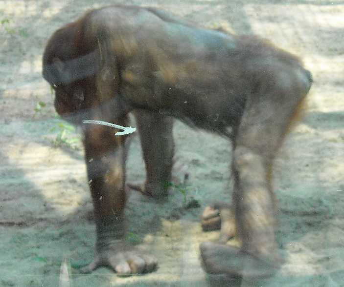 Борнейский орангутан - Pongo pygmaeus  (фото 844)