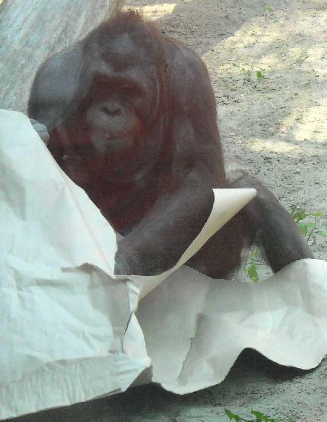 Борнейский орангутан - Pongo pygmaeus  (фото 845)